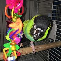 Adopt A Pet :: Mandoah - Punta Gorda, FL