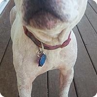 Adopt A Pet :: Jackie - Springfield, MO