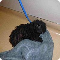 Adopt A Pet :: Pepsi - San Jose, CA