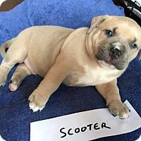 Adopt A Pet :: Scooter - Gilbertsville, PA