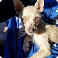 Adopt A Pet :: PIXIE - Inland Empire, CA