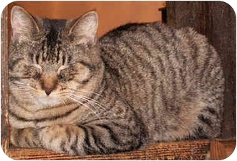 Domestic Shorthair Cat for adoption in Milford, Ohio - Timmy