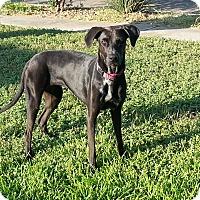 Adopt A Pet :: Lainey - San Antonio, TX