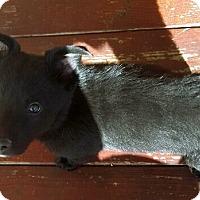 Adopt A Pet :: NICHOLE - Winnetka, CA
