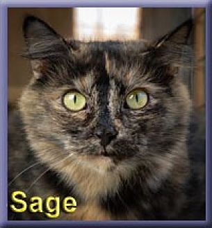 Domestic Shorthair Cat for adoption in Aldie, Virginia - Sage