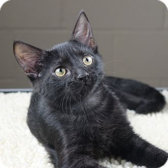 Domestic Longhair Kitten for adoption in Columbia, Illinois - Michonne