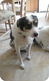Australian Kelpie/Australian Shepherd Mix Dog for adoption in Buffalo, Wyoming - Kelly