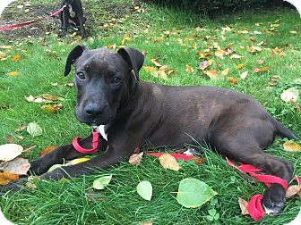 Pit Bull Terrier/Labrador Retriever Mix Puppy for adoption in Seattle, Washington - Ross