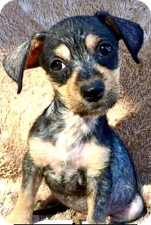 Dachshund/Terrier (Unknown Type, Small) Mix Puppy for adoption in Boulder, Colorado - Fifi (FOSTER TO ADOPT)