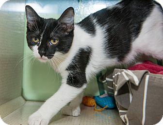 Domestic Shorthair Kitten for adoption in New York, New York - Molly