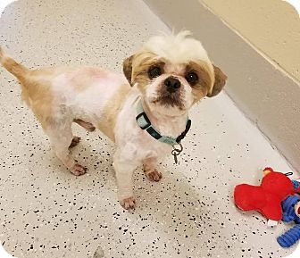 Shih Tzu Mix Dog for adoption in Burgaw, North Carolina - Skipper
