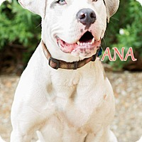 Adopt A Pet :: Ana - Experienced Jogger - Fort Worth, TX
