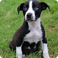 Adopt A Pet :: Violet - Glastonbury, CT