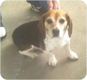 Beagle Mix Dog for adoption in Indianapolis, Indiana - Buddy