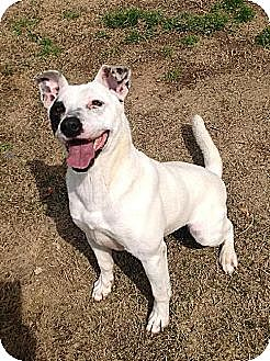 Jack Russell Terrier Mix Dog for adoption in Tunica, Mississippi - PEANUT