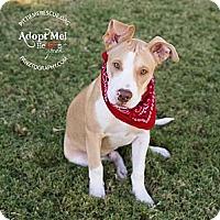 Adopt A Pet :: Bender - Gilbert, AZ