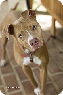 Pit Bull Terrier/Terrier (Unknown Type, Medium) Mix Dog for adoption in Baton Rouge, Louisiana - Maya