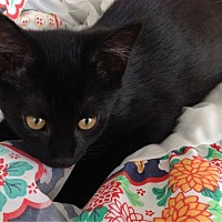 Bombay Kitten for adoption in Sunny Isles Beach, Florida - Ellwood