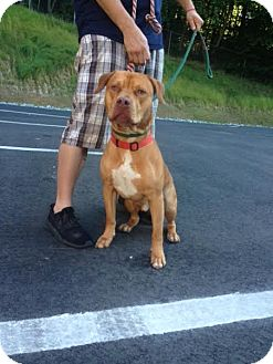American Pit Bull Terrier Dog for adoption in Cashiers, North Carolina - Pooh Bear