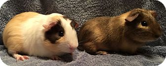 Guinea Pig for adoption in Steger, Illinois - Donnie