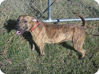Boxer/Retriever (Unknown Type) Mix Dog for adoption in Cleveland, Mississippi - FARAH