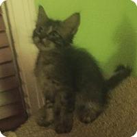 Domestic Shorthair Kitten for adoption in Austin, Texas - Karen