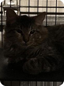 Maine Coon Kitten for adoption in Hammond, Louisiana - Mitch