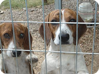 Beagle Dog for adoption in Lebanon, Tennessee - Clyde and Bonnie