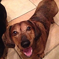 Dachshund Dog for adoption in Scottsdale, Arizona - Boomer
