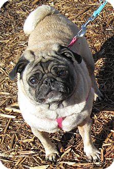 Pug Dog for adoption in Branson, Missouri - Lucy