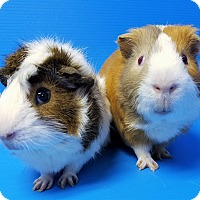 Guinea Pig for adoption in Lewisville, Texas - Romeo and Trevor