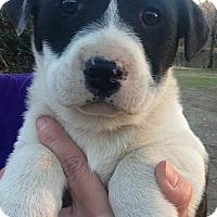 Adopt A Pet :: Cash - Boston, MA
