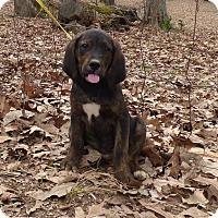 Adopt A Pet :: Dapper - Hartford, CT