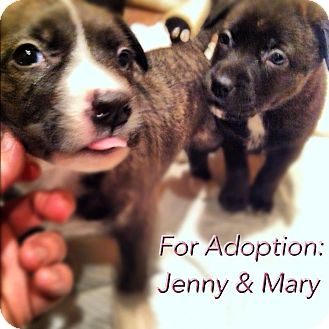 Labrador Retriever/American Staffordshire Terrier Mix Puppy for adoption in Shirley, New York - Mary