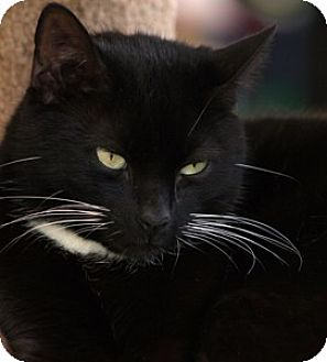 Domestic Shorthair Cat for adoption in North Fort Myers, Florida - Tweety