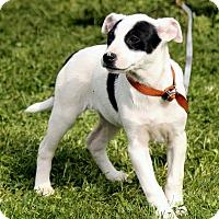Adopt A Pet :: Tabitha - Brattleboro, VT