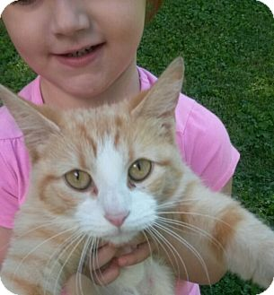 Domestic Shorthair Cat for adoption in Aurora, Indiana - Peaches-ADOPTED