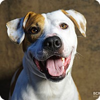 Boxer/Pit Bull Terrier Mix Dog for adoption in Cliffside Park, New Jersey - NICK