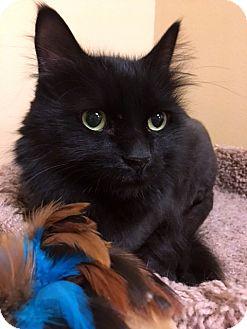 Domestic Longhair Cat for adoption in Las Vegas, Nevada - Geno