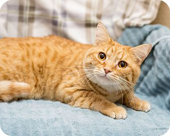 Domestic Shorthair Cat for adoption in Fountain Hills, Arizona - Oakley