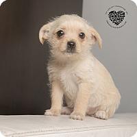 Adopt A Pet :: Penelope - Inglewood, CA