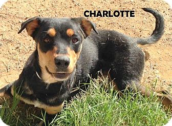 Rottweiler/Labrador Retriever Mix Dog for adoption in Higley, Arizona - CHARLOTTE