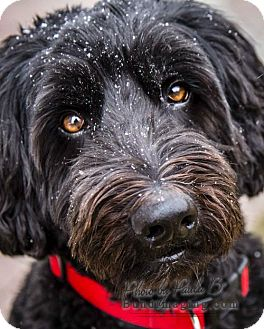 Poodle (Standard)/Labrador Retriever Mix Dog for adoption in Courtice, Ontario - Simcoe