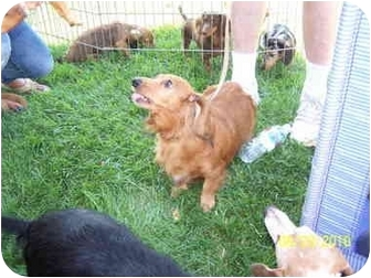 Dachshund Dog for adoption in Garden Grove, California - Ginger