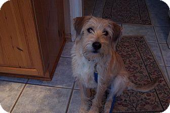 Terrier (Unknown Type, Medium)/Schnauzer (Standard) Mix Dog for adoption in Norwalk, Connecticut - Gracie - adoption pending