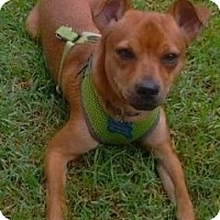 Adopt A Pet :: Opie - Cerritos, CA