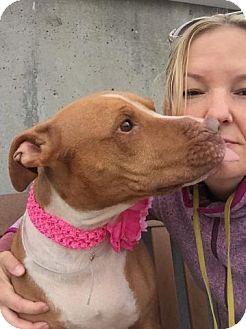 American Staffordshire Terrier Mix Dog for adoption in Kimberton, Pennsylvania - BRANDI