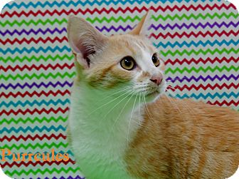 Domestic Shorthair Kitten for adoption in Bucyrus, Ohio - Purrcules