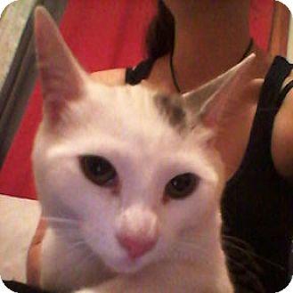 Domestic Shorthair Kitten for adoption in Verdun, Quebec - Mush