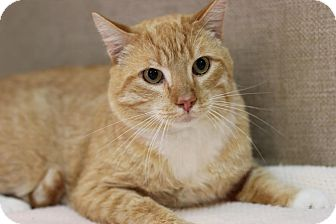 Domestic Shorthair Cat for adoption in Midland, Michigan - Manfred